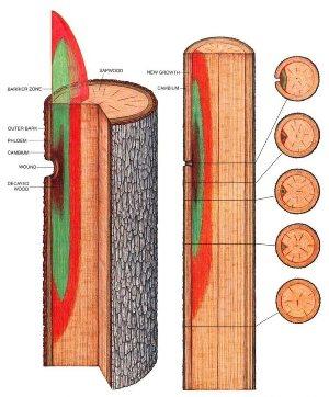 como as árvores se defendem - arvore lesionada