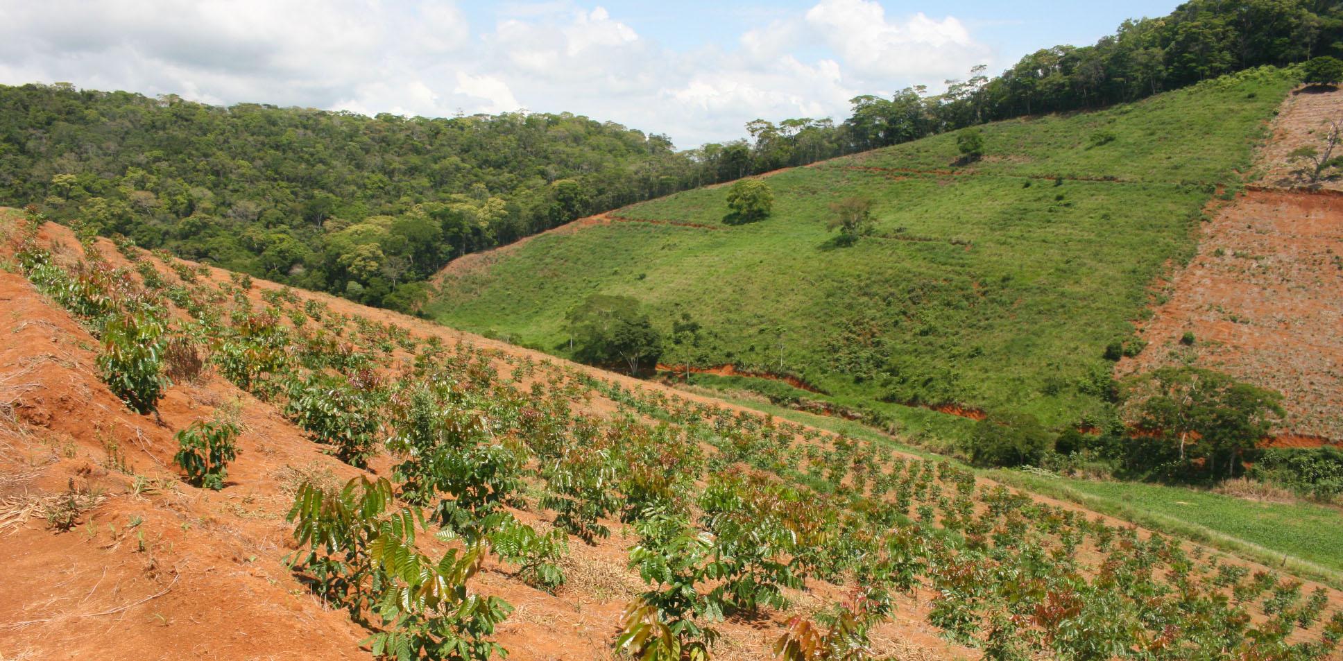floresta plantio de mogno africano
