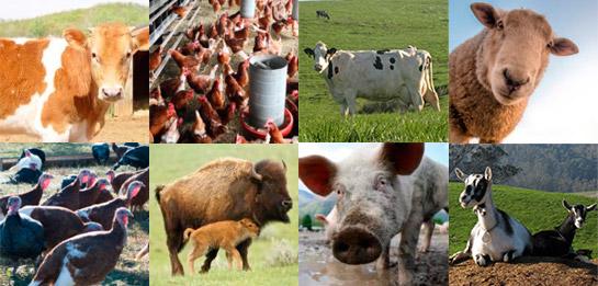 bem-estar dos animais de produção