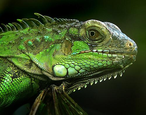 Iguana, animal representativo da energia do mês de Outubro de 2018