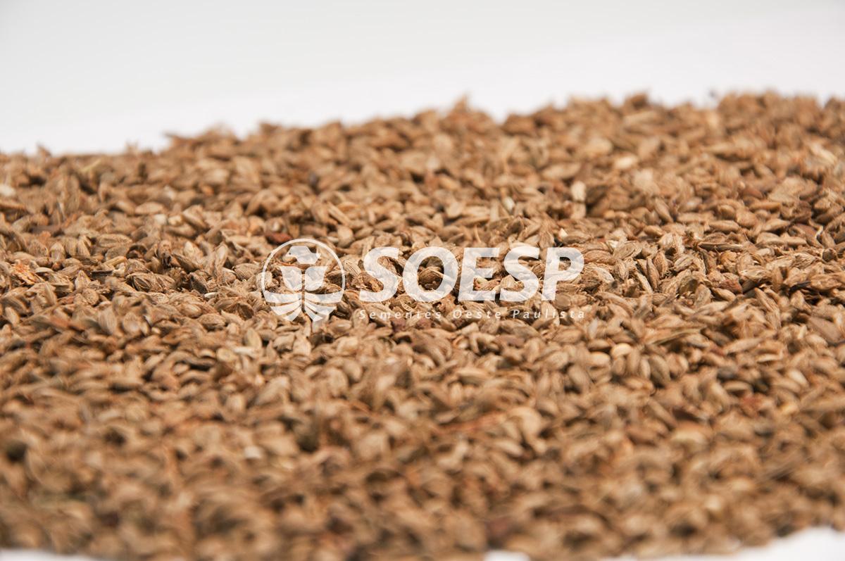 semente forrageira - semente brachiaria